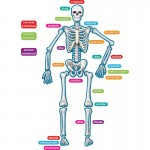 Teacher Created Resources Human Skeleton Magnetic Accents 77241